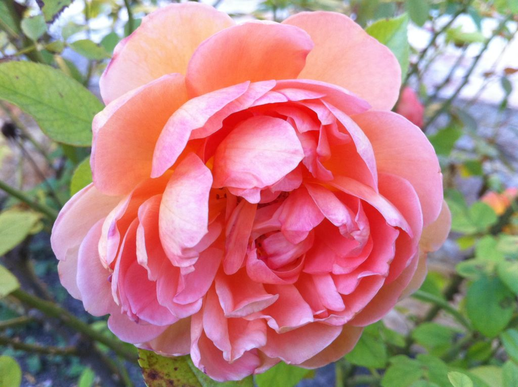 How to take care of roses - Question What Does It Take To Produce A Quality Plant