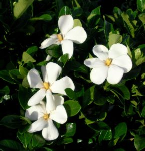 Inhabitants Of Polynesia Use These Highly Fragrant Flowers As Necklaces. On  Some Pacific Islands Wearing These Gardenia Flowers Indicates Oneu0027s  Relationship ...