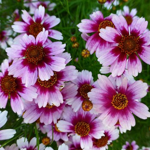 Flower_Pink Coreopsis