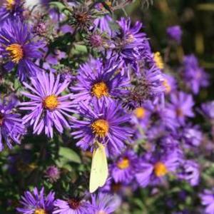 Flower_aste_nova
