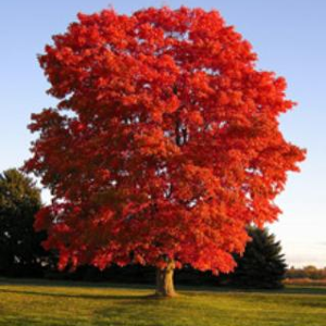 Tree_SummerRedMaple