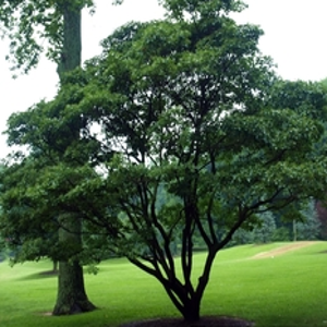 Tree_chionanthus_retusus