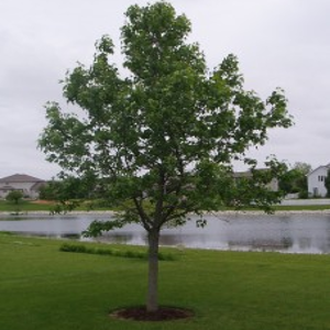 Tree_sweetgum