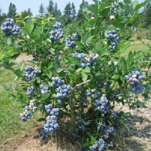shrub_blueberry-bleuet