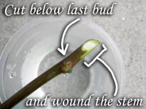 cut_below_last_bud_and_wound_the_stem
