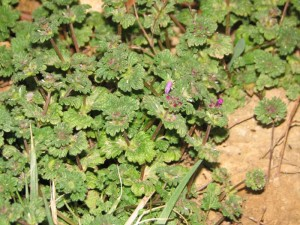henbit-deadnettle