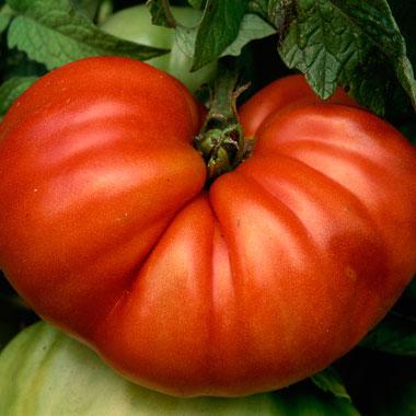 tomato-tips-2