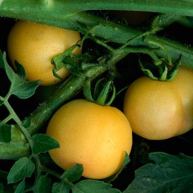 tomato-tips-3