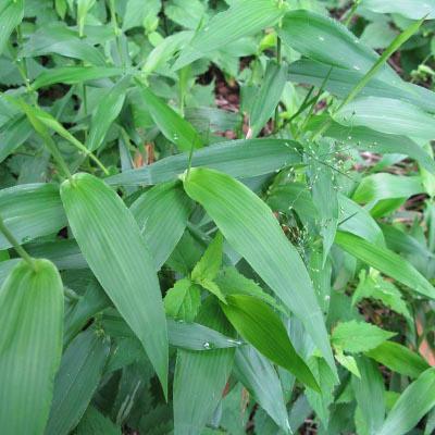 deertongue grass