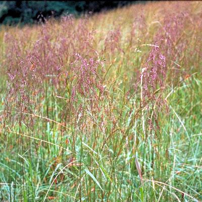 purple topgrass