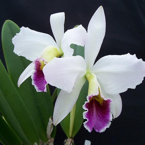 Orchid_Cattleyas_139