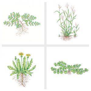 01-lawn-weeds