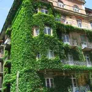 English-Ivy-Vine-2