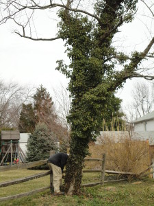 3-5-2011-removing-ivy