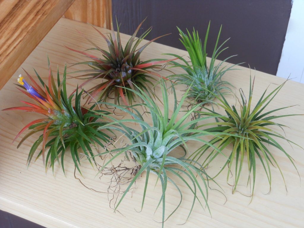 do air plants really live off of the air giordanos. Black Bedroom Furniture Sets. Home Design Ideas