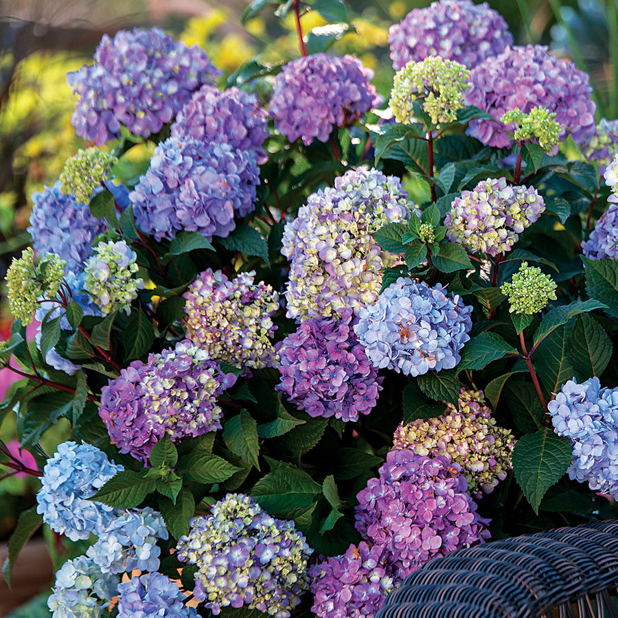There Are Various Types Of Hydrangea Bushes The Mophead Being Most Common Pruning Instructions May Vary Slightly With Other